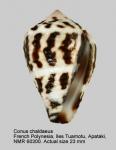 Conus chaldaeus