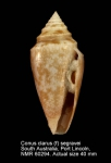 Conus clarus