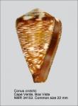 Conus crotchii