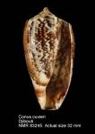 Conus cuvieri