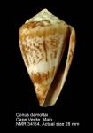 Conus damottai