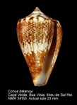 Conus delanoyae