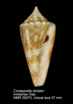 Conus dictator
