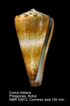 Conus distans