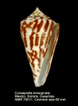 Conus emarginatus