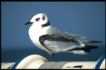 Kittiwake - Rissa tridactyla (Linnaeus, 1758)