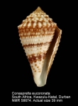 Conus eucoronatus