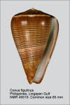 Conus figulinus