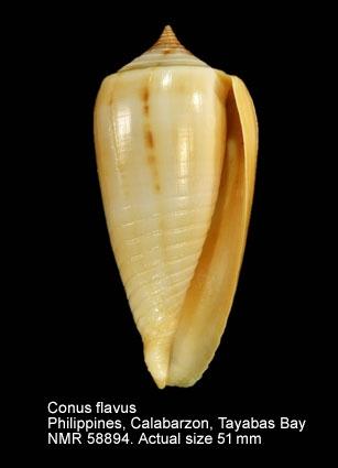 Conus flavus