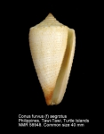Conus furvus