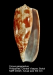 Conus geographus