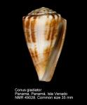Conus gladiator