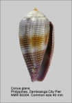 Conus glans