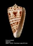 Conus jickelii