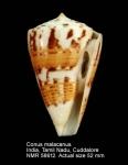 Conus malacanus
