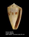 Conus melvilli