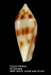 Conus mitratus
