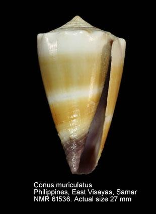 Conus muriculatus