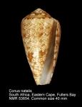Conus natalis