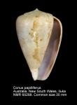 Conus papilliferus