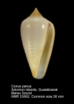 Conus parius