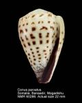 Conus parvatus