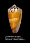 Conus planorbis