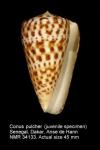Conus pulcher