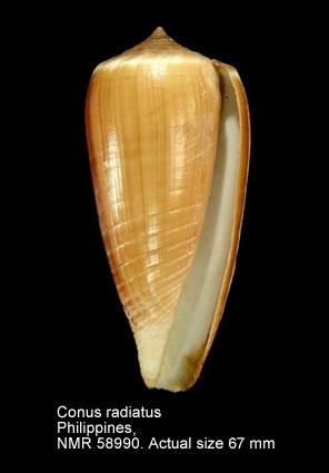 Conus radiatus