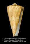 Conus recluzianus