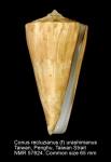 Conus recluzianus