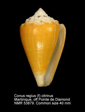 Conus regius