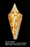 Conus scalaris