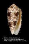 Conus stercusmuscarum