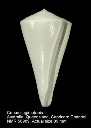Conus sugimotonis