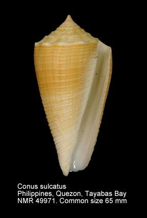 Conus sulcatus