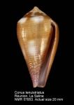 Conus tenuistriatus
