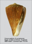 Conus vexillum