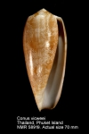 Conus vicweei