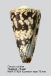Conus zonatus