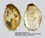 Crassostrea rhizophorae