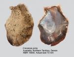 Crenatula picta