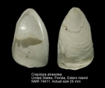 Crepidula atrasolea