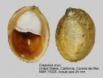 Crepidula onyx
