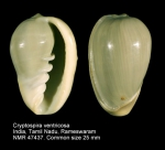 Cryptospira ventricosa