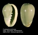 Cryptospira ventricosa