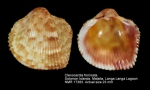 Ctenocardia fornicata