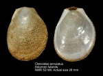Ctenoides annulata