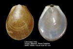Ctenoides mitis