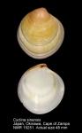Cyclina sinensis